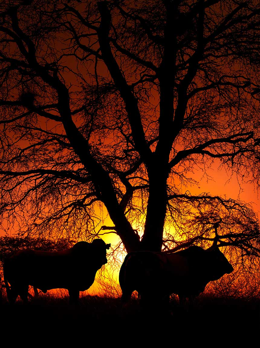 Bonsmara Bulls late afternoon silhouette
