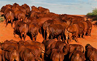 01. Bonsmara Bulls on Kalahari Dunes