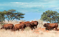Bulls in the veld - 2017