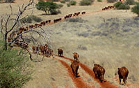 Bonsmara Cattle crossing a Kalahari Dune