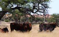 Bonsmara bulls resting under a camelthorn tree