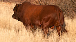 Broad Bonsmara bull to be used in 2017/2018 breeding season