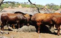 Bulls feeding on weaver nests