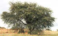 Camelthorn tree full with pods ready to be shed