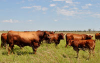 Cross breeding at its best - Red Angus bull bred to Bonsmara cows with excellent crossbred calves