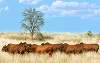 Bulls in the veld 2017
