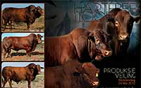 Another Auction advertisement combining some bulls