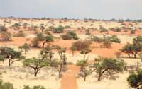 Hartebeestloop is covered with an abundance of Camel thorn and Witgat trees