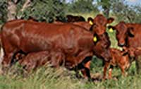 Bonsmara Stud Cows with calves