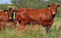Typical Bonsmara cows and calves in the veld.