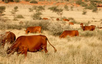 Our cows grazing in natural veld, late afternoon, March 2015