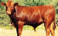 Strong Bonsmara bull calf showing great adaptability features