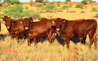 Young bulls feeding in the veld