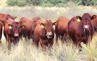 Young bulls growing out on natural veld