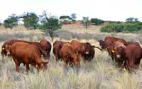 Young bulls growing out under extensive conditions