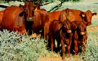 Stud Breeding: Cows and calves