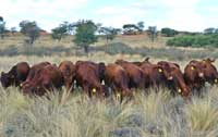 Group of young bulls in the veld during a Growth Test under extensive conditions