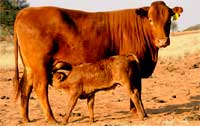 Young Bonsmara calf